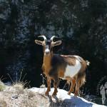La cabra montés o íbice ibérico