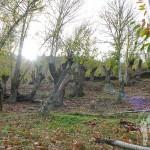 Camino de castaños hacia Vilar