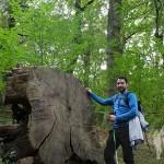 Castaño de 270 años derribado por el ciclón hortensia