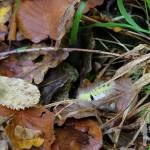 Oruga tejedora de otoño