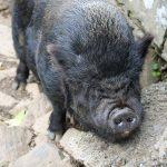 Cerdo (Os Teixóis)