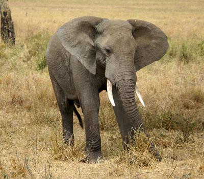Serengueti (Tanzania)