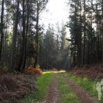 Camino entre pinos y eucaliptos