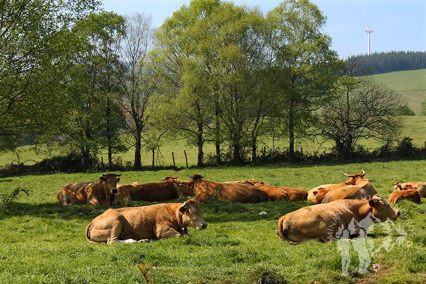 Rebaño de vacas