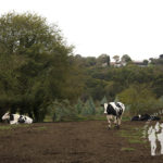 Vacas en Costoia