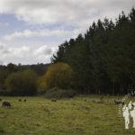 Prado con ovejas