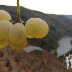 Uvas con el Sil de fondo