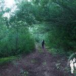 Bosque de mimosas o acacias dealbata