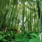 Plantación de bambús